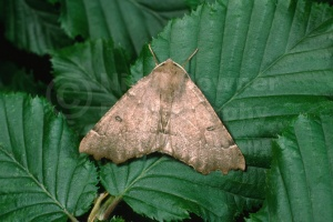 IN-0303 Scalloped hazel moth