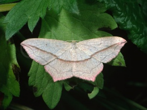 IN-0305 Blood-vein moth