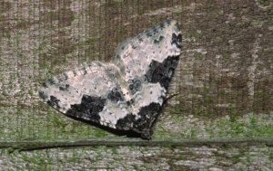 IN-0306 Garden carpet moth
