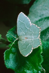 IN-0307 Common emerald moth