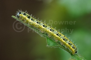 IN-0308 Large white butterfly larva