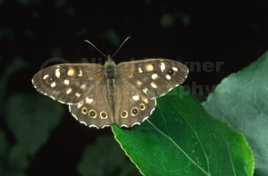 IN-0312 Speckled wood butterfly