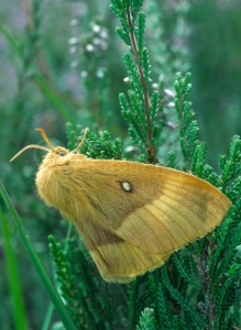IN-0314 Oak eggar moth