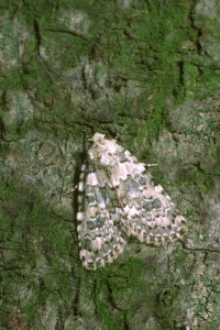 IN-0315 Marbled beauty moth