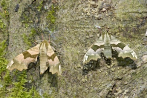 IN-0316 Lime hawk-moths