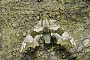 IN-0317 Lime hawk-moth