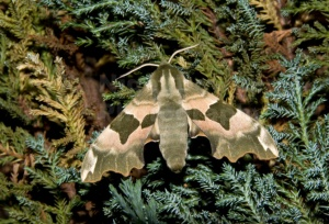 IN-0318 Lime hawk-moth
