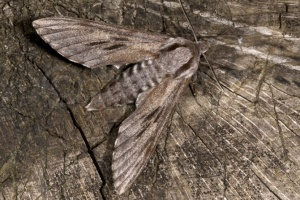 IN-0320 Pine hawk-moth