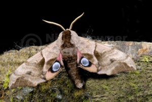 IN-0322 Eyed hawk-moth