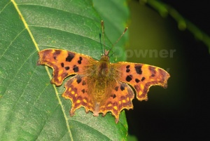 IN-0329 Comma butterfly