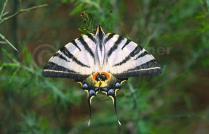 IN-0330 Scarce swallowtail butterfly