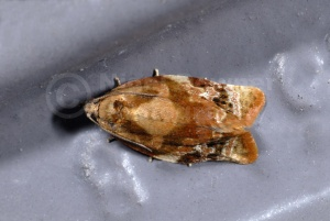 IN-0336 Red-barred tortrix