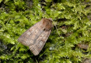 IN-0339 Small square-spot moth