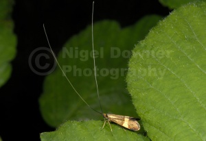 IN-0340 Longhorn moth