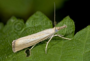 IN-0342 Grass moth