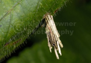 IN-0345 Bagworm moth larval case