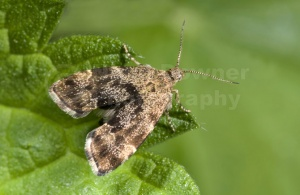 IN-0347 Nettle-tap moth