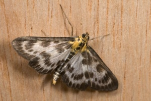 IN-0349 Small magpie moth