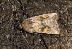 IN-0352 Ear moth