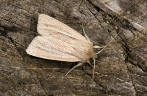 IN-0354 Smokey wainscot moth