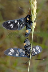 IN-0357 Nine-spotted moths