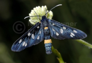IN-0359 Nine-spotted moth