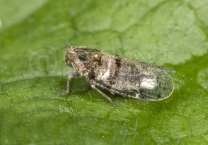 IN-0363 Leafhopper