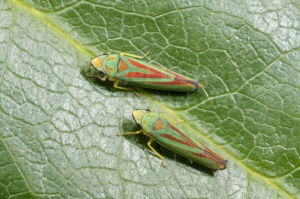 IN-0364 Rhododendron leafhoppers