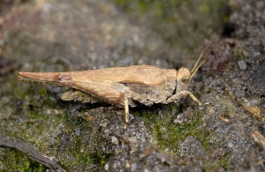 IN-0366 Slender groundhopper