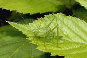 IN-0368 Speckled bush cricket
