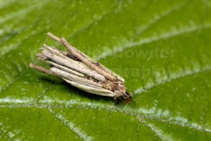 IN-0370 Bagworm moth larval case