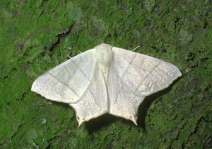 IN-0377 Swallowtail moth