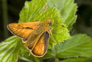 IN-0380 Large skipper butterfly