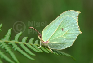 IN-0381 Brimstone butterfly