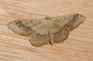 IN-0397 Riband wave moth