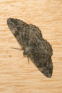 IN-0398 Mottled beauty moth