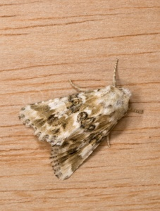 IN-0402 Dusky sallow moth