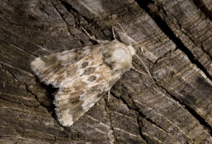 IN-0403 Dusky sallow moth