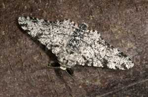 IN-0404 Peppered moth