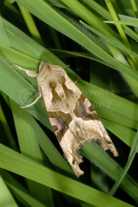 IN-0408 Angle shades moth