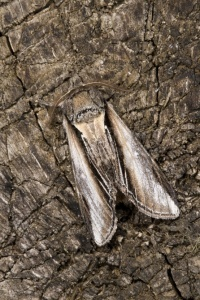 IN-0409 Swallow Prominent moth