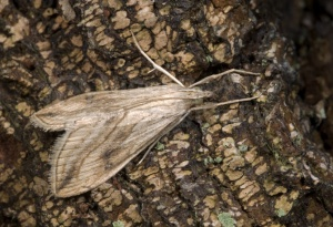 IN-0413 Garden pebble moth