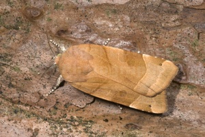 IN-0414 Broad-bordered yellow underwing