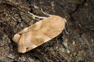 IN-0415 Broad-bordered yellow underwing