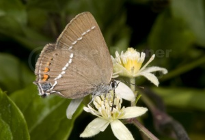 IN-0418 Blue-spot hairstreak