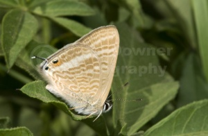 IN-0419 Long-tailed blue butterfly