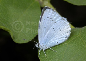IN-0420 Holly blue butterfly