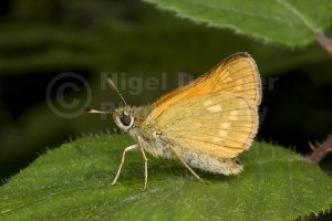 IN-0425 Large skipper butterfly