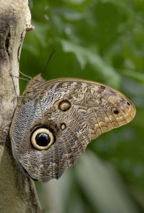 IN-0427 Owl butterfly