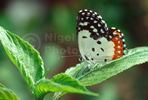 IN-0431 Red Pierrot butterfly